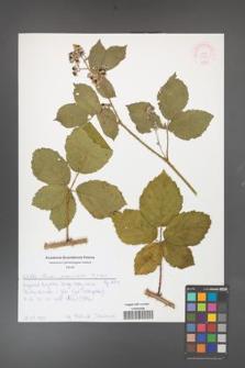 Rubus fasciculatus [KOR 51989]
