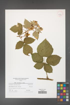 Rubus fasciculatus [KOR 40644]