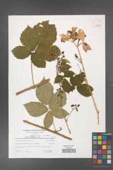 Rubus fasciculatus [KOR 39679]