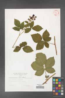 Rubus fasciculatus [KOR 32368]