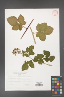 Rubus fasciculatus [KOR 32362]