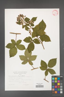 Rubus fasciculatus [KOR 32347]