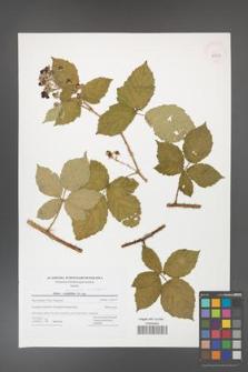 Rubus fasciculatus [KOR 42757]
