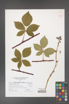 Rubus fasciculatus [KOR 41180]