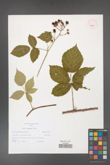 Rubus fasciculatus [KOR 46234]