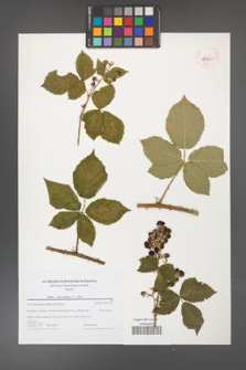 Rubus fasciculatus [KOR 44720]
