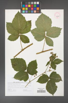 Rubus fasciculatus [KOR 44685]