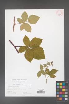 Rubus fasciculatus [KOR 43986]