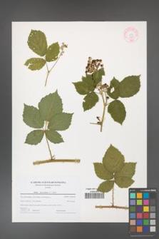 Rubus fasciculatus [KOR 44195]