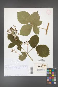 Rubus fasciculatus [KOR 52054]