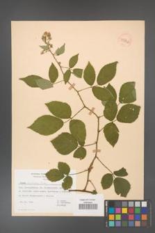 Rubus bavaricus [KOR 53962]