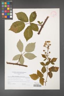 Rubus flos-amygdalae [KOR 44613]