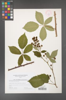 Rubus flos-amygdalae [KOR 44615]