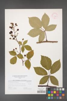 Rubus flos-amygdalae [KOR 44616]
