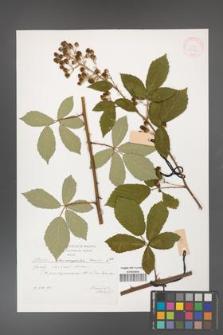 Rubus flos-amygdalae [KOR 29574]