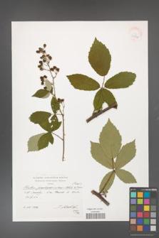 Rubus flos-amygdalae [KOR 39890]