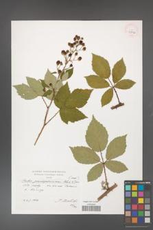 Rubus flos-amygdalae [KOR 39892]