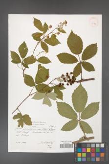 Rubus flos-amygdalae [KOR 39889]