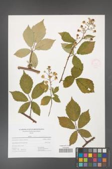 Rubus flos-amygdalae [KOR 52504]