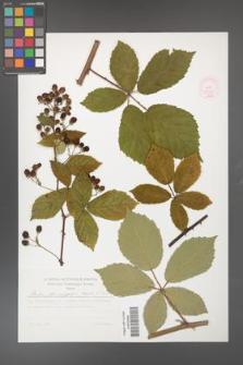 Rubus flos-amygdalae [KOR 53036]