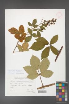 Rubus flos-amygdalae [KOR 41451]