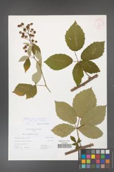 Rubus flos-amygdalae [KOR 44969]