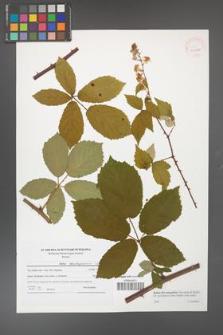 Rubus flos-amygdalae [KOR 41501]