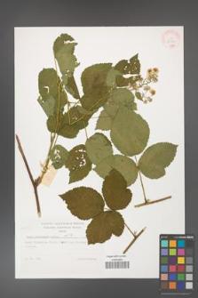 Rubus dollnensis [KOR 32299]