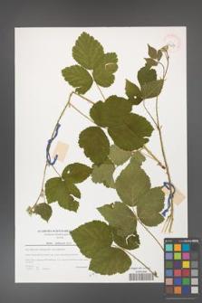 Rubus dollnensis [KOR 39627]