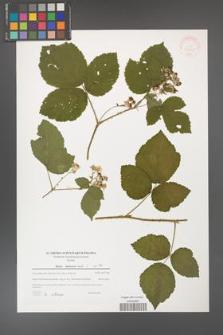 Rubus dollnensis [KOR 39765]