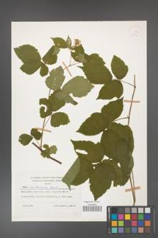 Rubus dollnensis [KOR 25193]