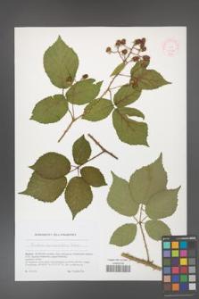 Rubus epipsilos [KOR 51782]