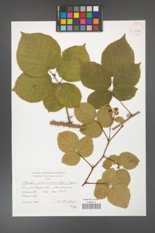 Rubus fabrimontanus [KOR 41316]