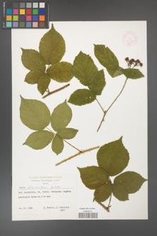Rubus fabrimontanus [KOR 47393]