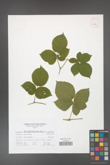 Rubus fabrimontanus [KOR 41676]