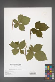 Rubus fabrimontanus [KOR 49935]