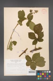 Rubus fabrimontanus [KOR 30955]