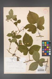 Rubus fabrimontanus [KOR 30951]