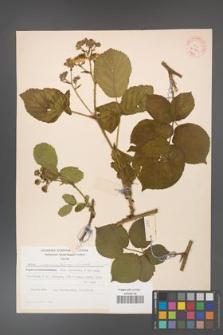 Rubus fabrimontanus [KOR 30941]