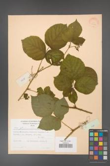 Rubus fabrimontanus [KOR 30956]