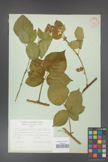 Rubus fabrimontanus [KOR 30965]