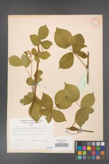 Rubus fabrimontanus [KOR 30949]