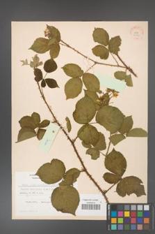 Rubus fabrimontanus [KOR 30959]