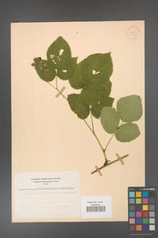 Rubus fabrimontanus [KOR 30952]
