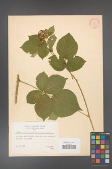 Rubus fabrimontanus [KOR 10643]