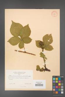 Rubus fabrimontanus [KOR 8668]