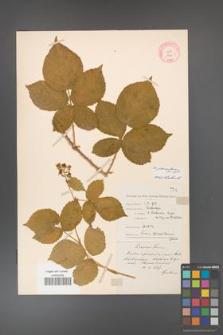 Rubus fabrimontanus [KOR 7706]