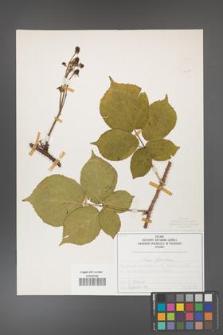 Rubus fabrimontanus [KOR 50401]