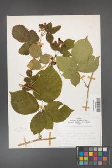Rubus fabrimontanus [KOR 50402]