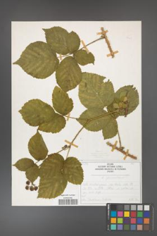 Rubus fabrimontanus [KOR 50403]
